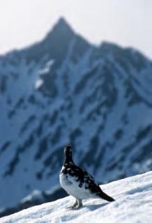 立山に生息するライチョウなど山地の鳥類は温暖化の影響を受けやすい