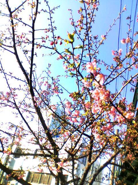 当院前の桜