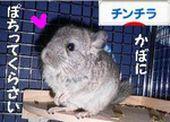 にほんブログ村 小動物ブログ チンチラへ