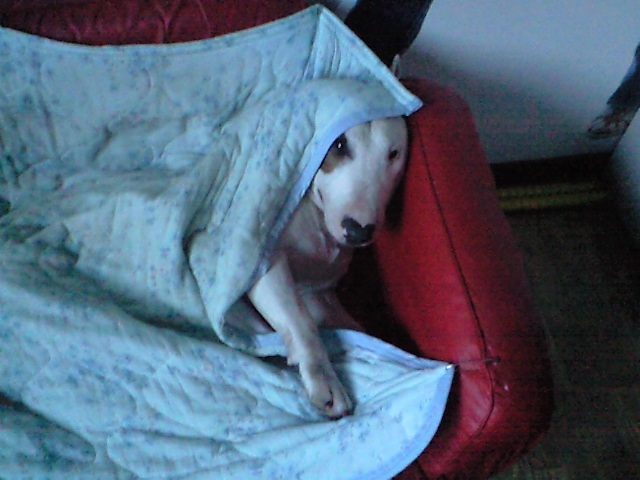 寝起きの ブルテリア石松