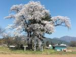 北杜の桜4