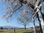 北杜の桜5