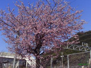 南紀すさみの桜1