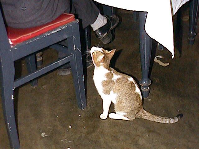 ヴェトナムの猫