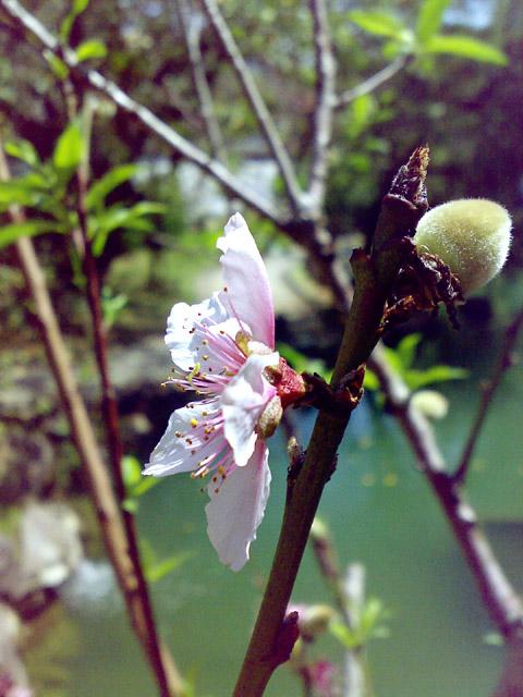 福州園,桃