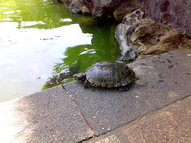 福州園,亀