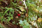 ニセコの赤い実
