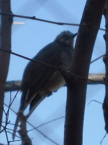 欅に集まる鳥