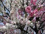 近所の桜1
