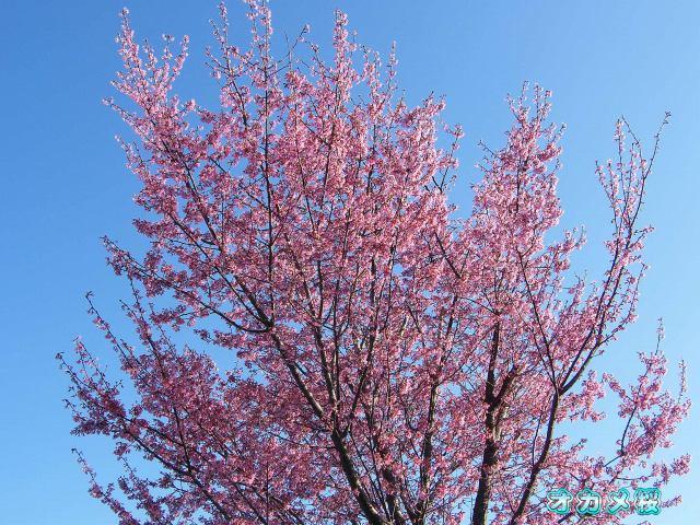 オカメ桜-015