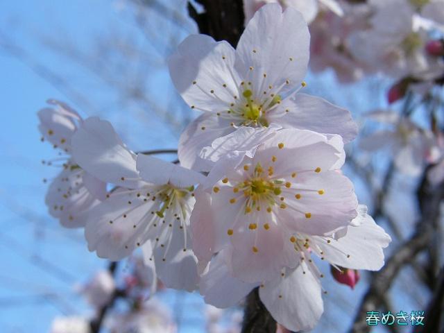 春めき桜-15