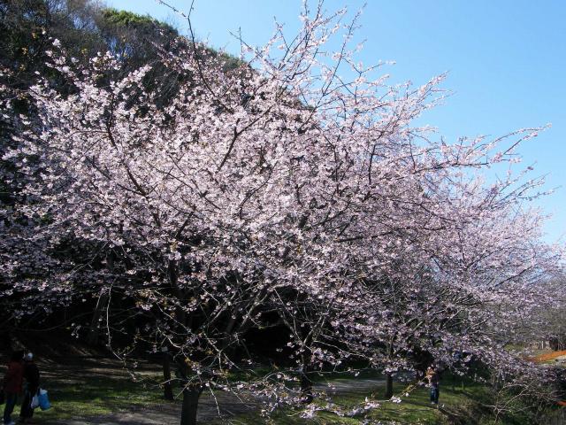 大寒桜-015