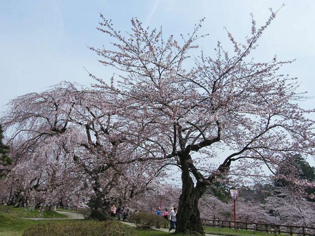 弘前桜-01