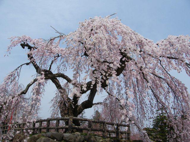 弘前桜-02