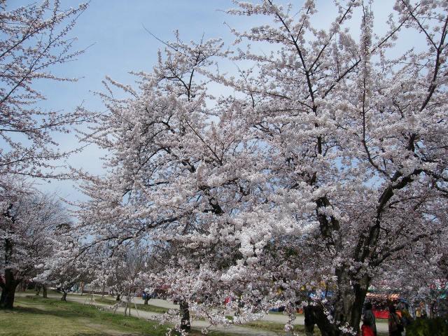 弘前桜-04