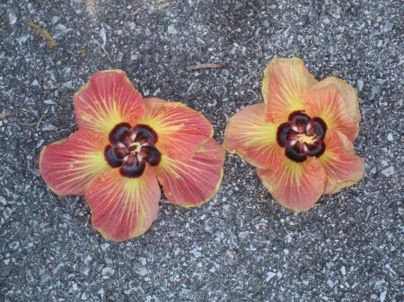 ゆうなの花(Y)