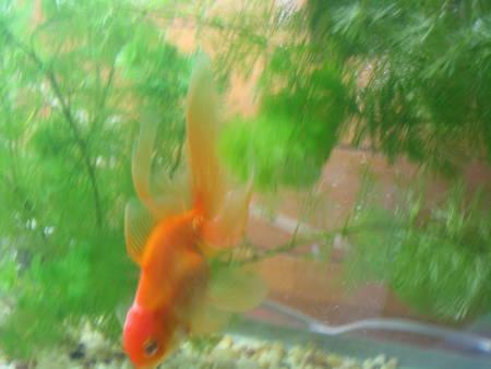 金魚(A)