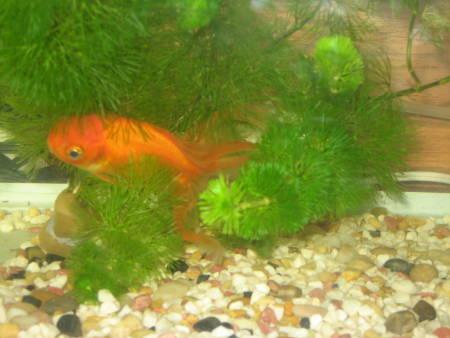 金魚(B)