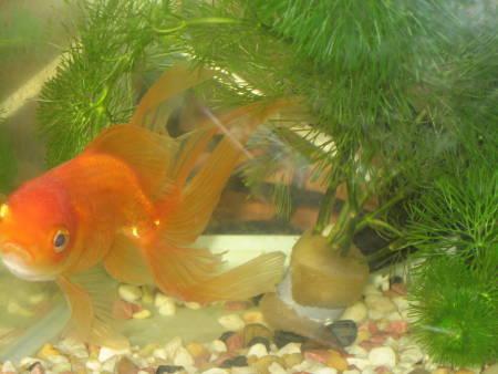 金魚(C)