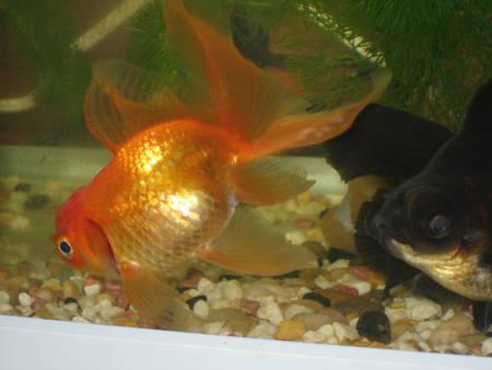 金魚(D)