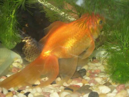 金魚(E)