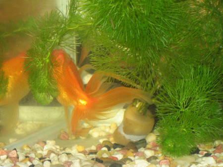 金魚(F)