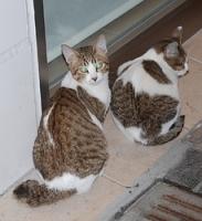 尾が曲がって短くなっている猫