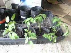 トマト脇芽挿し木