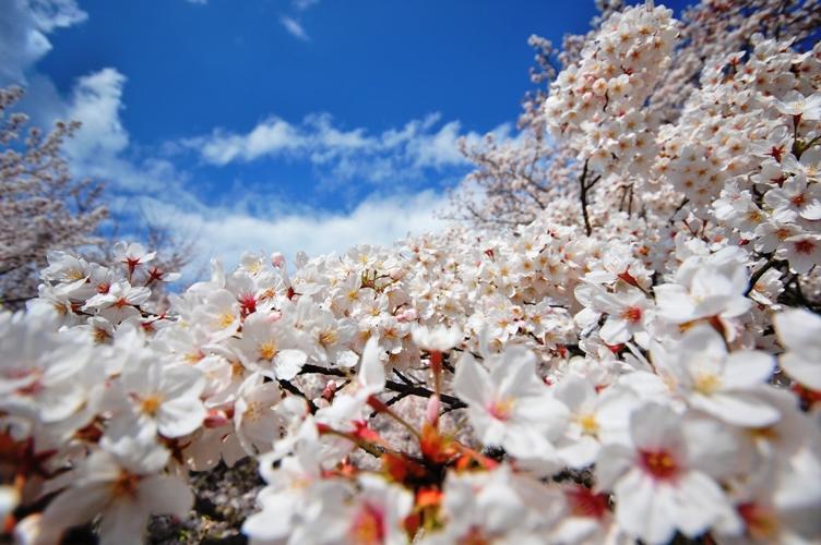 桜好日2 078