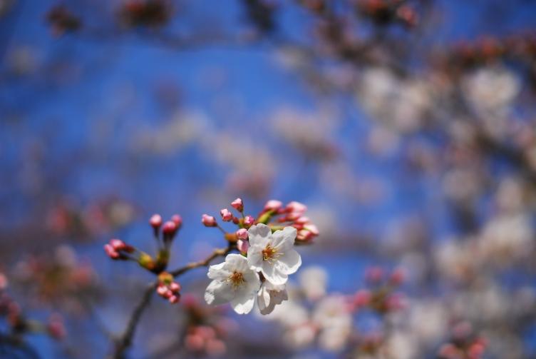 桜2 034