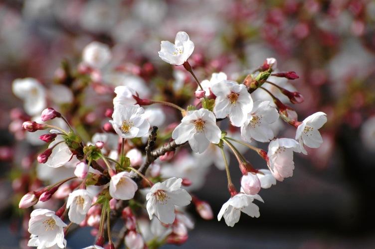 桜3 112