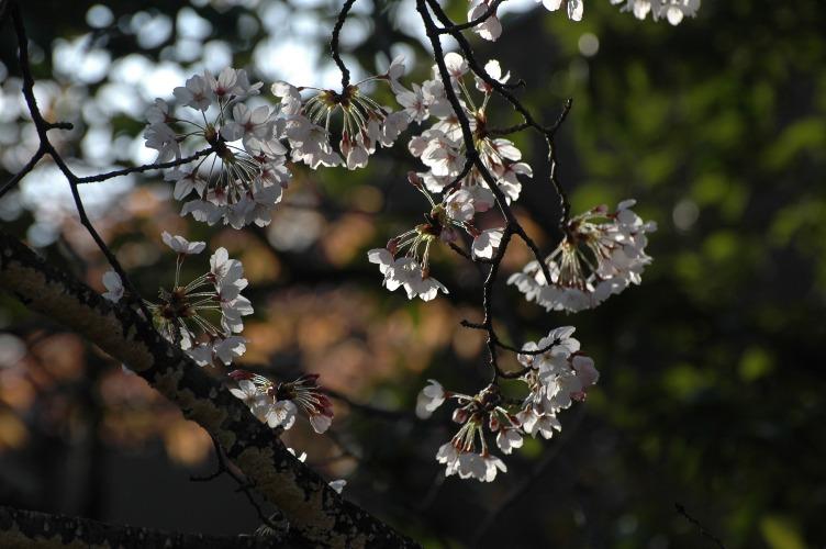 桜3 132