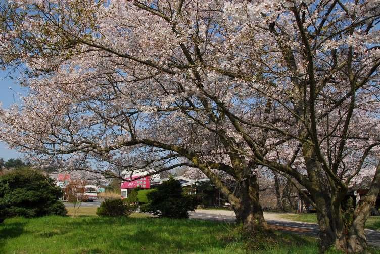 五色台桜1 084