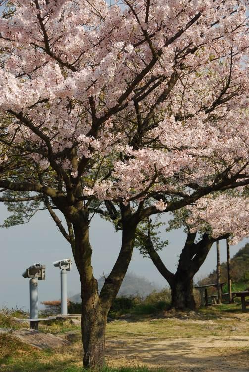 五色台桜1 031