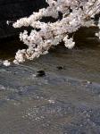 桜とカルガモ