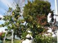 カリンの収穫作業風景