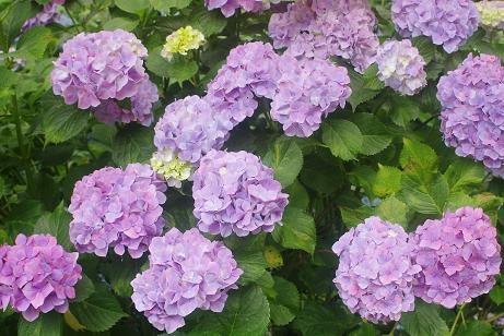 むらさきの紫陽花