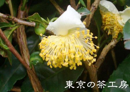 チャの花2