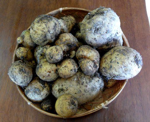 0614ジャガイモ収穫
