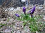 わが家の庭に咲く春一番