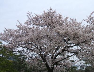 ikesakura.jpg