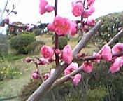 須磨山上遊園の梅