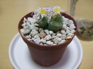ophthalmophyllum_spathulatum081014.jpg