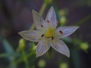 イヌセンブリ花061024