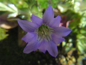 ハルリンドウ赤紫070301