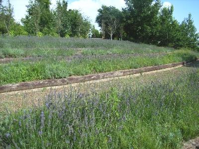 ハイジの村のラベンダー畑