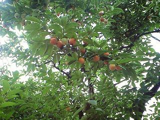 s-柿の木 (2)