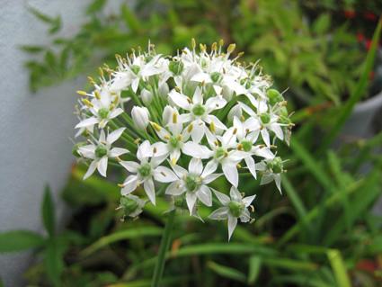 ニラの花080915