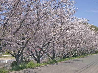 散り初めの桜
