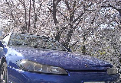 写り込みの桜